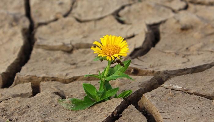 kwiat wyrastający na spękanej ziemi