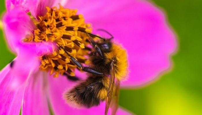 pszczoła w trakcie zapylania kwiatu